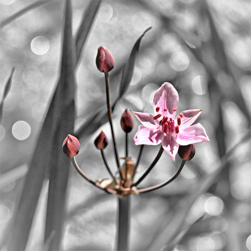 Wildblumen Schwanenblume Wasserviole Butomus Umbellatus Wasserliesch Plant Petal Outdoors No People Nature Growth Freshness Fragility Flower Head Flower Day Close-up Blooming Beauty In Nature EyeEmNewHere Blumenbinse