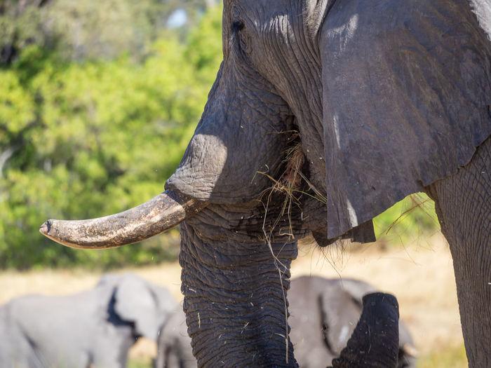 Close-up portrait of elephant eating grass, moremi game reserve, botswana