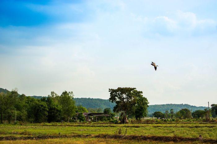 Thailand My Back Yard Bird Farmland
