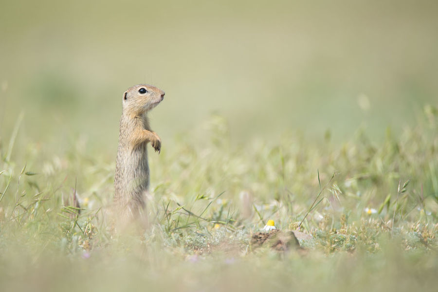 European  Grass Green Color Natural Spermophilus Citellus Adorable Alertness Animal Wildlife Close-up Curious Cute Environment Fauna Furry Ground Squirrel Herbivorous Juvenile Land Mammal Meadow Nature Prairie Rodent Watching Young Animal