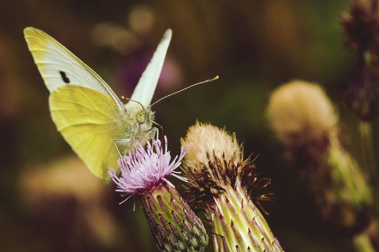 Close-up of butterfly pollinating thistle