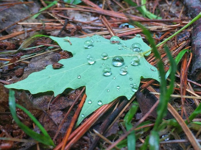 Maple Leaf Drops Of Rain Rain Drops Green Nature Fallen Maple Leaf Iamcanadian I AM CANADIAN Water Drops Water Droplet Looseleaf