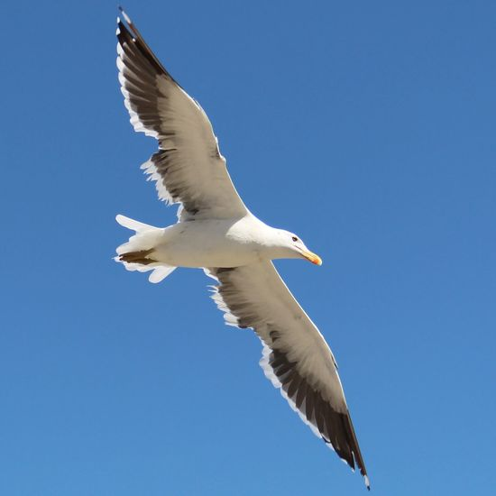Seagull Seagulls In Flight Seagulls Flying Over Me Seagull In Focus Bird Photography Birds In Flight Birds Eye View Birds Of EyeEm  Flying White Beach Beauty In Nature Beautifulview Canon Nature No People Canonphotography Macro