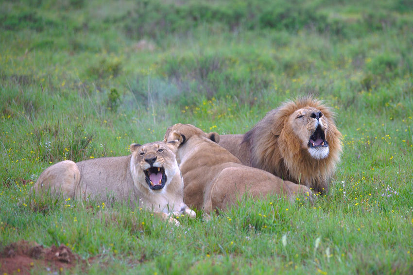 Resting lions after hunt Animals In The Wild Game Reserve Grassland Lion - Feline Lions Mammal Outdoor Photography South Africa