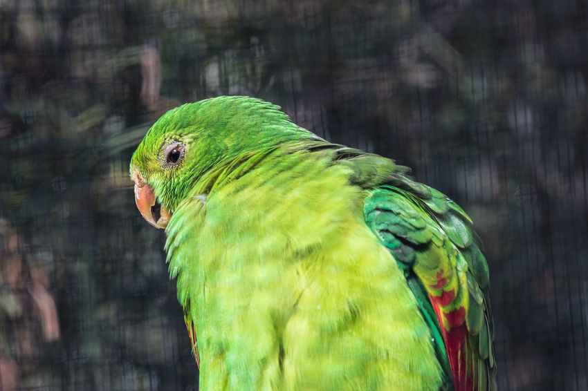 The red-winged parrot (Aprosmictus erythropterus), is a parrot native to Australia and Papua New Guinea. It is found in grasslands, savannah, farmland, and woodland. The red-winged parrot is typically about 30 to 33 cm (12–13 in) in length. Both sexes have bright red wings and a bright green body. The male birds have a black nape, lower blue back and rump with a yellow tip on their tail, an orange bill and grey feet. The female birds have a yellowish-green body and the wings have red and pink trimmings. https://en.wikipedia.org/wiki/Red-winged_parrot Green Color Red Animal Animal Wildlife Bird Close-up Parrot Parrots