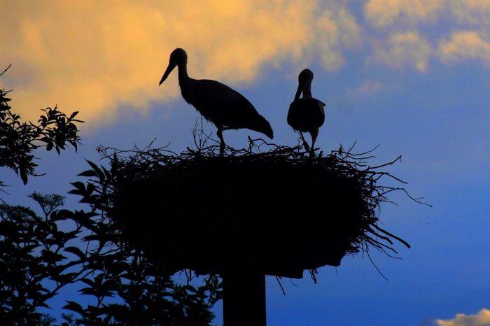 Stork Stork Nest Storks Storks In The Wild