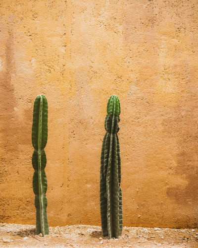 Cactus plant against wall