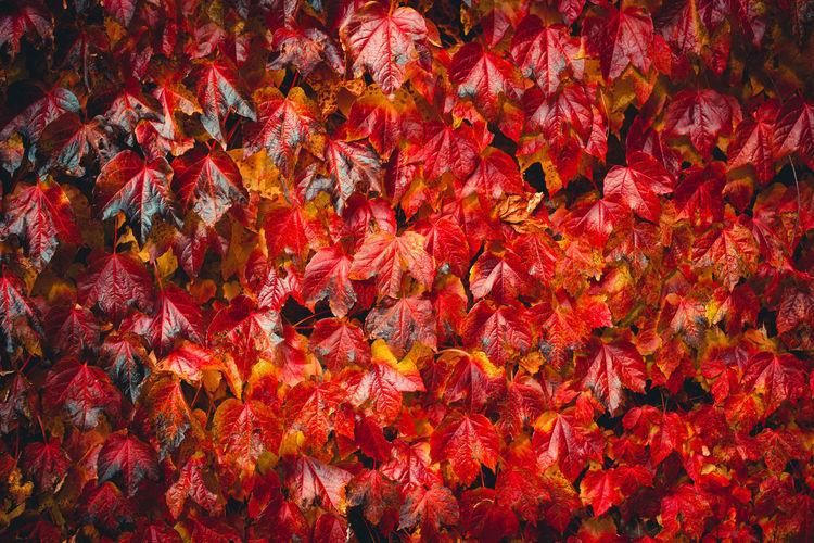 Full frame shot of autumnal leaves