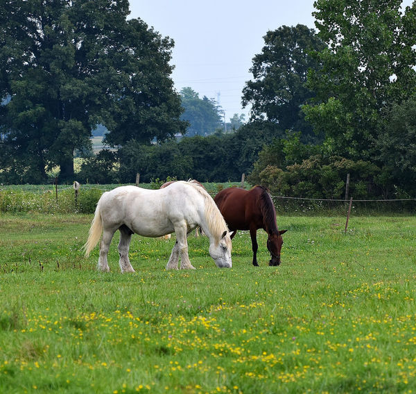 white horse and brown horse grazing in field in summertime Agriculture Animal Animal Themes Day Domestic Animals Eating Full Length Grass Grazing Green Color Growth Horse Landscape Livestock Mammal Morgan Horse Nature No People Outdoors Pastoral Setting Pasture Percheron Sky Tree The Great Outdoors - 2017 EyeEm Awards