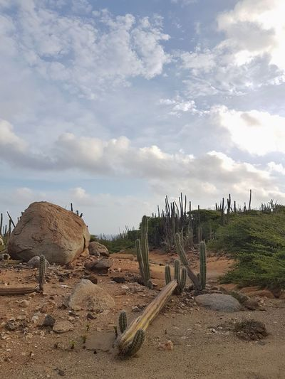 Seroe Crystal Aruba Photography Phoneography No People Noedit Samsungphotography Focus On Foreground Brown Reflection Vintage Island Sky Nature Wildlife Cactus Tree Agriculture Sky Cloud - Sky Landscape Thorn Prickly Pear Cactus Spiky Needle - Plant Part Saguaro Cactus Sharp