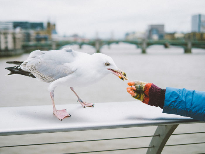 i can recommend this bird Bird Feeding  Millenium Bridge Seagull