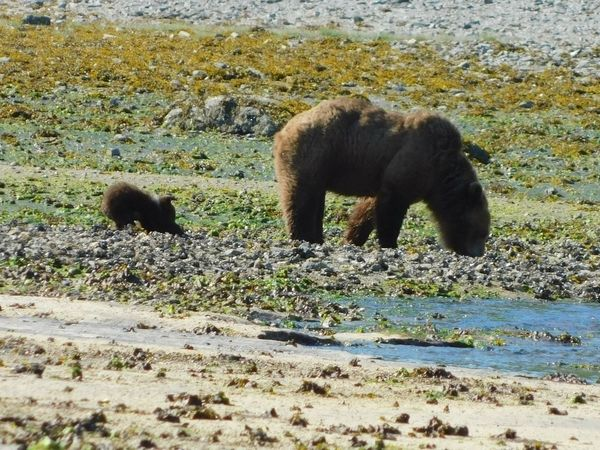 Brown Bear Cub Bear Alaskan Nature Alaska Katmai National Park Animal Animal Themes Water Animal Wildlife Animals In The Wild Mammal Nature Vertebrate Day Land Group Of Animals No People Beach Lake Sunlight Elephant Outdoors Field Side View Animal Family