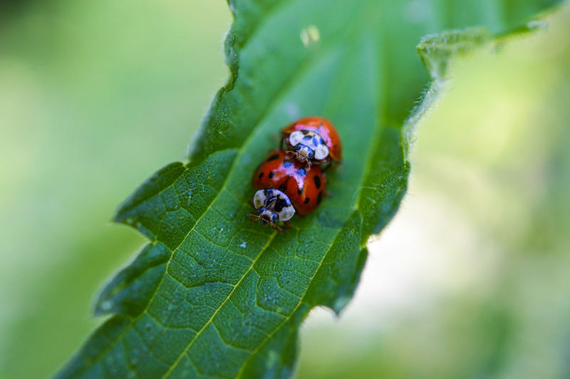 ...I know what they're doing :) ... Ladybird Ladybirds 🐞 Ladybug Ladybeetle Insect Insects  Insect Photography Insect Macro  Close-up Leaf Nettle Stinging Nettle Macro Macro_collection Macro Nature Macro Insects Nature Nature_collection Mating Outdoors Mating Season Green Spring Germany Beauty In Nature