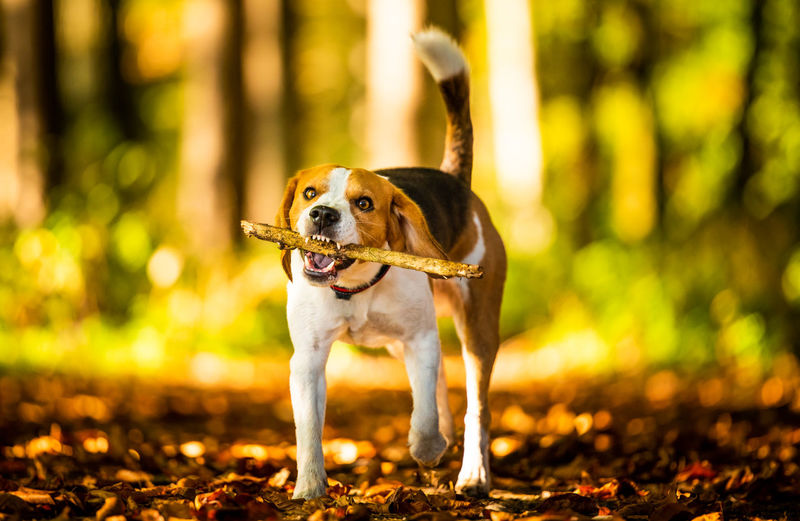 Full length of dog standing amidst forest while holding wooden stick in mouth