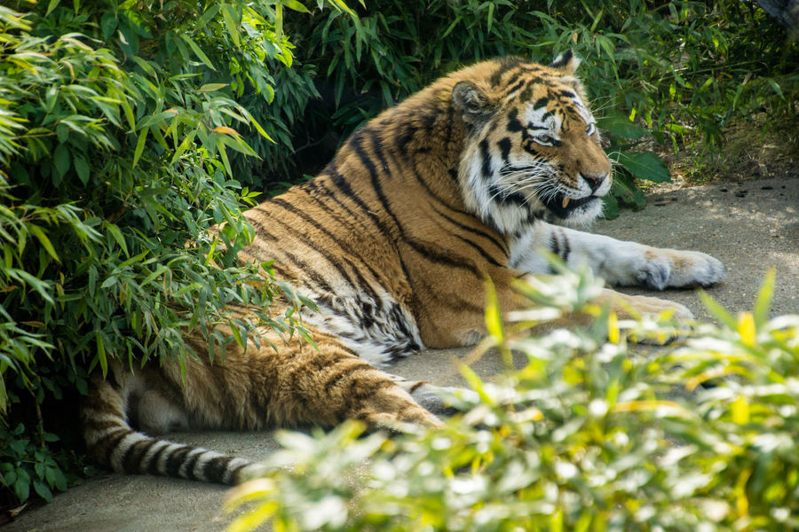 Tiger (High Resolution) Animal Animal Themes Animals Feline Mammal Relaxation Resting Tiger Tiger Lazing Around Big Cat