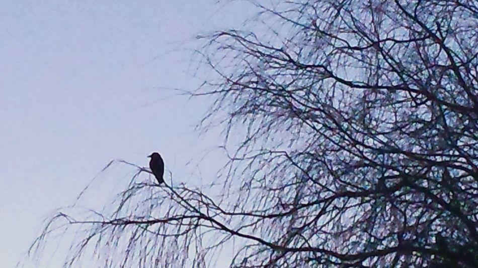 February 2016 Showcase: February Winter 2016 Walberton Arundel Sussex Sun Morning Dawn Beautiful Nature Blackbird Willow Tree