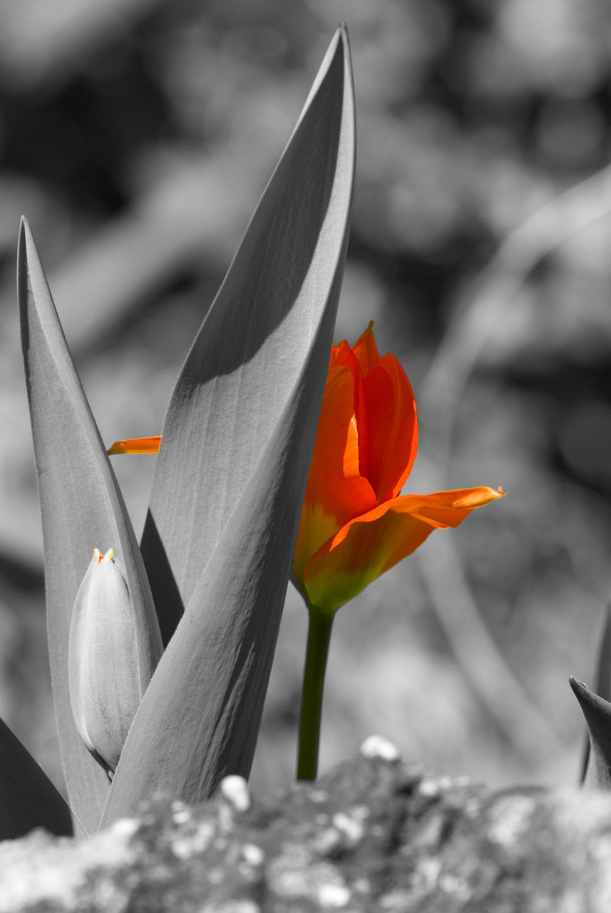 flowering plant, beauty in nature, flower, vulnerability, fragility, freshness, close-up, petal, inflorescence, flower head, growth, plant, focus on foreground, nature, day, no people, orange color, tulip, outdoors