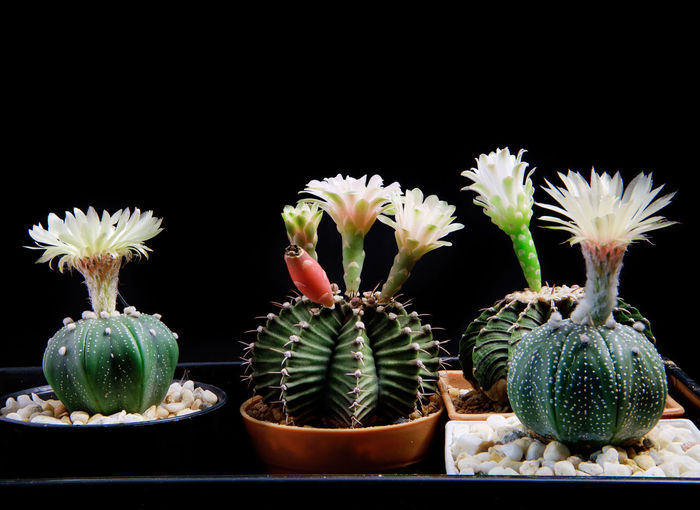 Close-up of cactus growing against black background