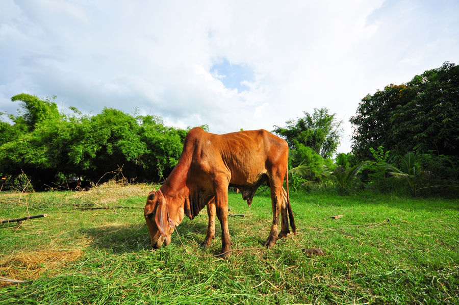 Thai cow eating green grass One Animal Domestic Animals Animal Themes Mammal Tree Livestock Standing Day Grass No People Outdoors Sky Nature Asian Cow Red Bull Textured  Cow News Travel Landscape Public Eat Grass Field Beauty In Nature