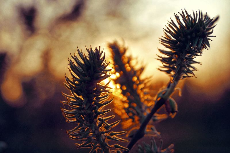 Close-up of wilted plant during sunset