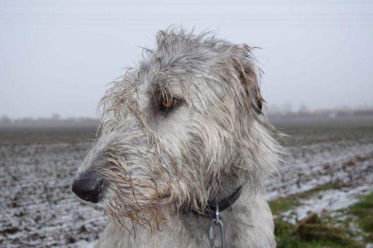 One Animal Cold Temperature It Is Cold Outside Fieldscape Beauty In Nature Snow Outdoors Irish Wolfhound Cearnaigh Dogslife Dogwalk Petscorner Dogs Of Winter Dogs Of EyeEm Dog Of The Day Dog Wintertime January 2017 Frosted Domestic Animals Winter