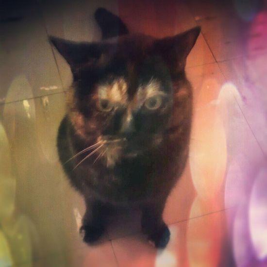 Evo3d Cat Britishshorthair Pixlromatic
