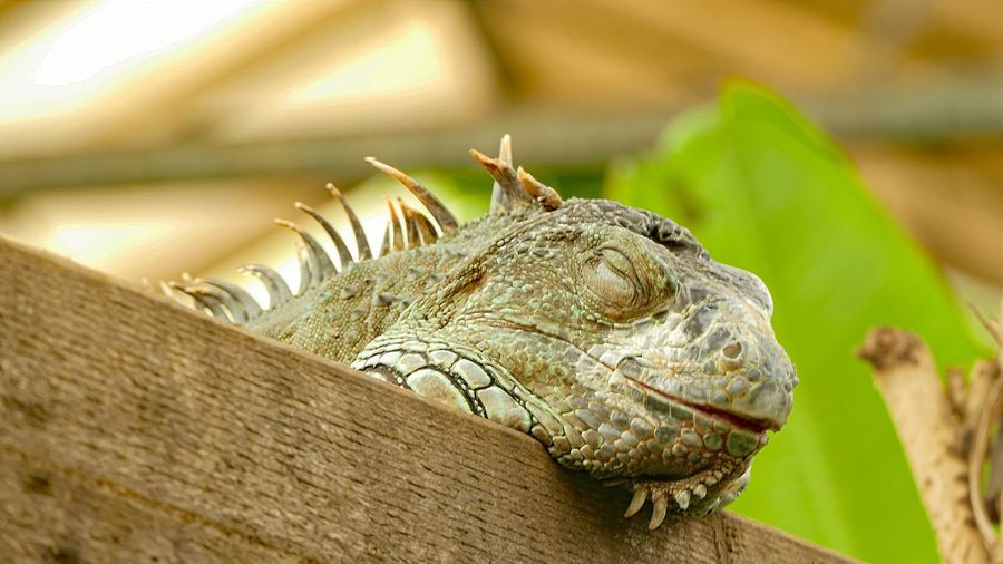 Close-up of bearded dragon on wood