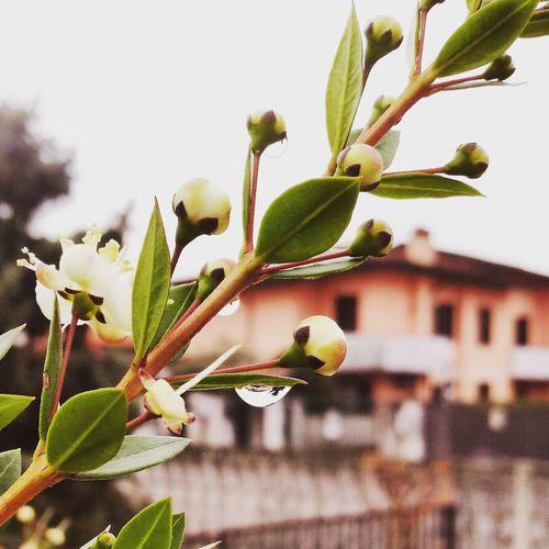 Mirto Garden Homegarden Drop Of Water Rain Picoftheday Focus EyeEm Selects Tree City Leaf Branch Close-up Plant