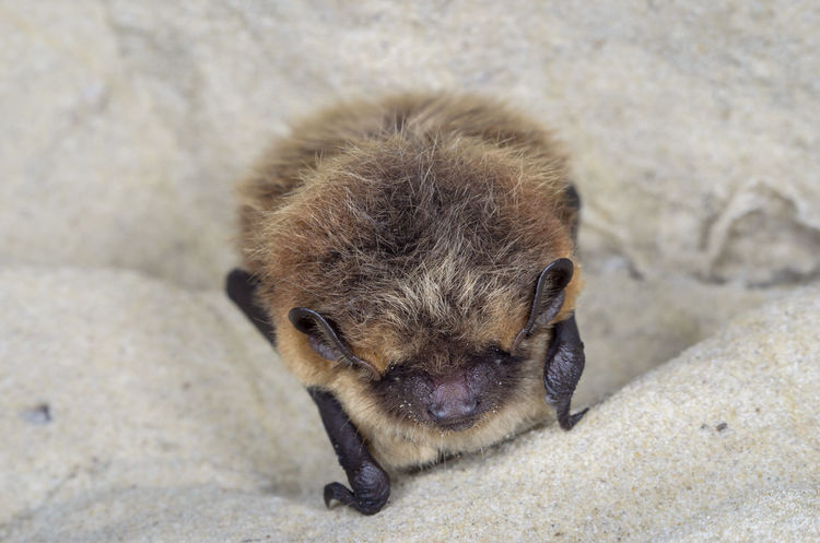 The northern bat (Eptesicus nilssonii) Animals In The Wild Chiroptera Hibernation Nature Wildlife & Nature Winter Animals Bats Europe Mammal Nature Conservation Wildlife