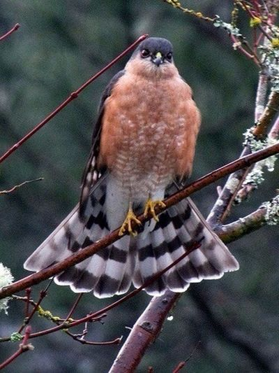 Birds. Raptors. Hawk. Nature Sharp Shinned Hawk, showing off. EyeEm Birds My Birds Obsession Hawk