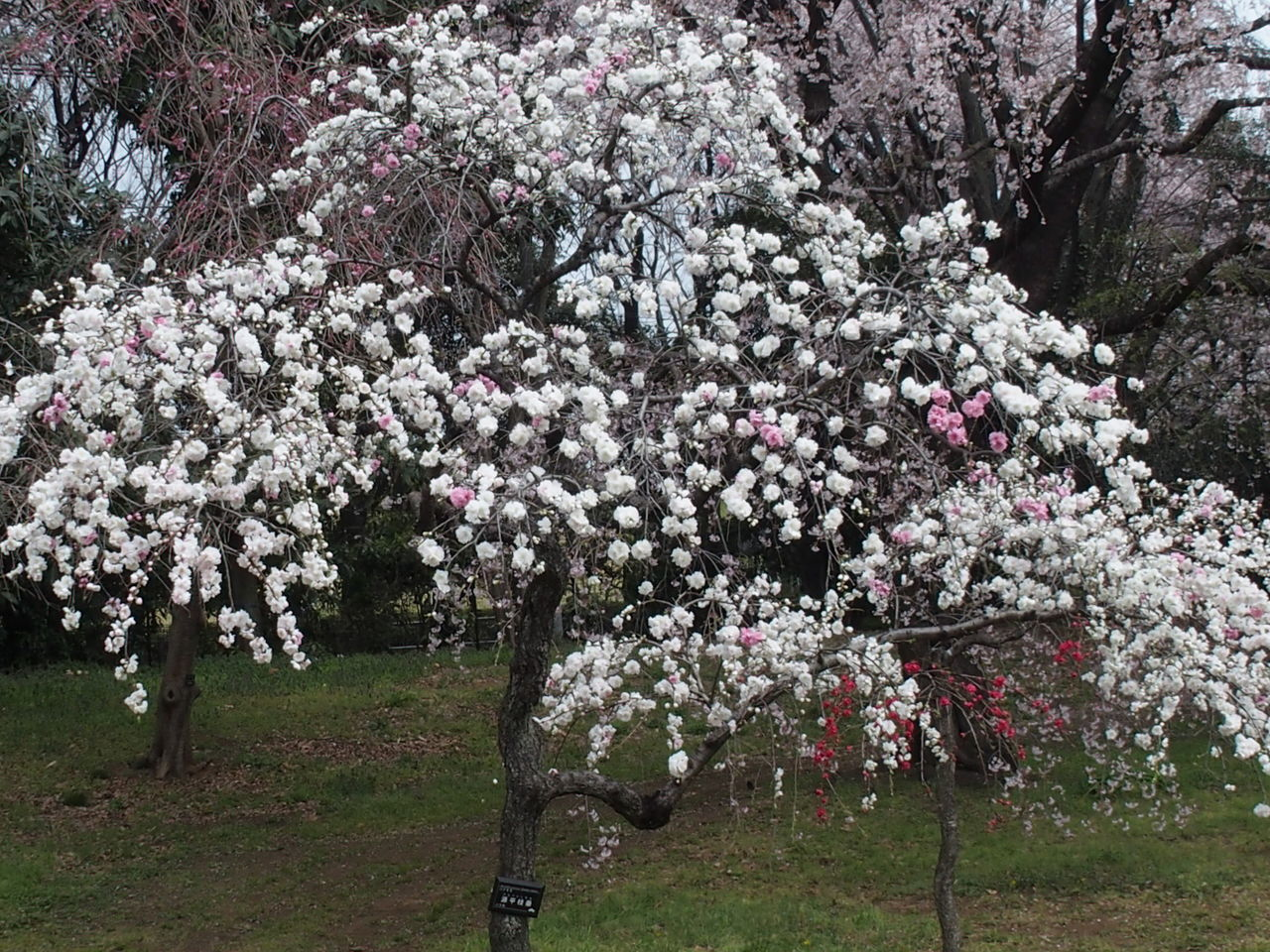 flower, blossom, tree, springtime, cherry blossom, almond tree, nature, fragility, beauty in nature, cherry tree, orchard, branch, apple blossom, freshness, white color, growth, botany, apple tree, no people, cherry, day, outdoors, pink color, blooming, close-up, flower head
