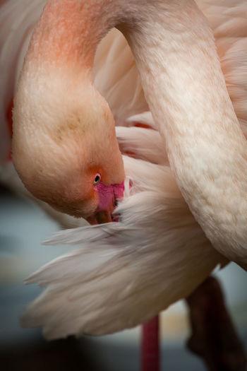 Close-Up Of Flamingo Bird