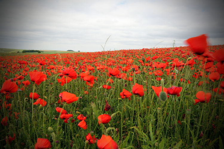 Beauty In Nature Blooming Close-up Day Field Flower Flower Head Fragility Freshness Grass Growth Landscape Nature No People Outdoors Petal Plant Poppy Red Rural Scene Scenics Sky Spring Summer Tranquility