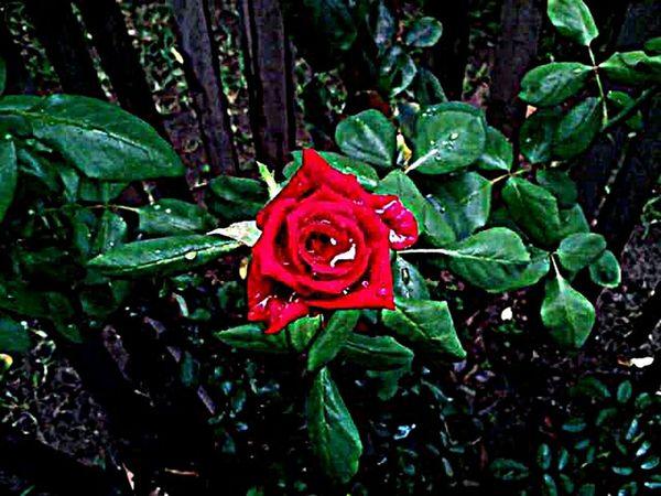 M.J....... Beautiful Nature Live. EyeEm GalleryNaturaleza Plant Life Vida Plants 🌱 Photographic Memory Photography Plants And Flowers Reflection_collection First Eyeem Photo Nature Photography Photo Of The Day Photo Photos Phoyography Rosas🌹🌹 Rojo❤ Colors Rosas Rojas Rosas