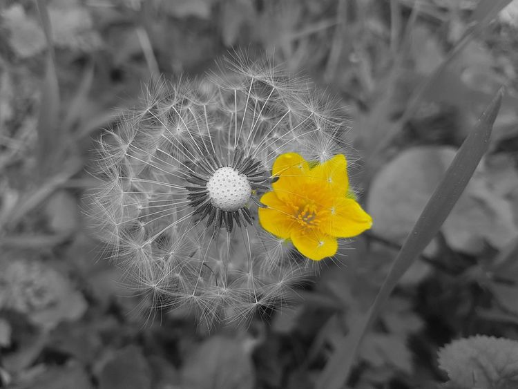 Black And White With A Splash Of Colour The Great Outdoors - 2017 EyeEm Awards 😚 EyeEm Nature Lover Eyem Nature Collection EyeEm Gallery Outdoor Photography Getting Inspired Eye4photography  Capture The Moment EyeEm Nature Photography EyeEm Masterclass EyEmNewHere Best Of EyeEm Eyem Best Edits EyeEm Best Shots Fragility Dandelion Dandelion Seeds Flower Head Outdoors Day Nature Close-up Eyem Collection