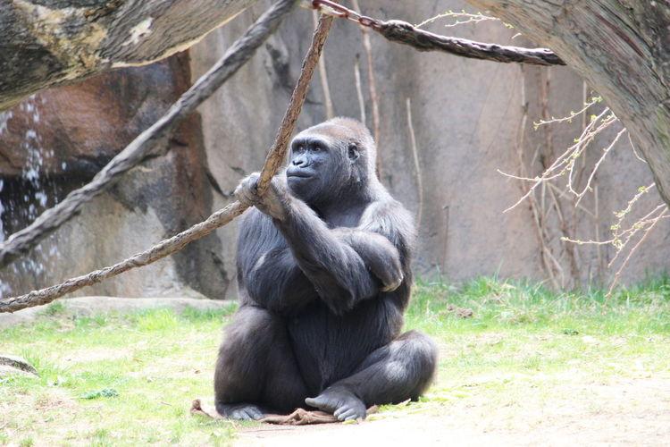 Animal Wildlife Primate Mammal Sitting Animals In The Wild Ape One Animal Zoo Day Nature Vertebrate No People Animals In Captivity Tree Gorilla Plant Outdoors