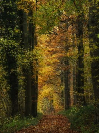 Yellow column light and shadow Sunlight Belgium canon nature_collection Nature photography naturelovers Autumn Autumn colors fi Light And Shadow Sunlight Belgium Canon Nature_collection Nature Photography Naturelovers Autumn Autumn Colors Fine Art Photography Woods WoodLand Trees Tree Trunk Yellow Fall Path Forestwalk Nature No People Tree Outdoors Beauty In Nature Grass Forest Tranquility Scenics