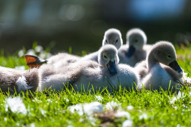 A group of cygnets resting in the sunshine Family Animal Themes Animals In The Wild Bird Cygnets Day Grass Resting Time Spring Sunshine Young Animal Young Bird Young Swans