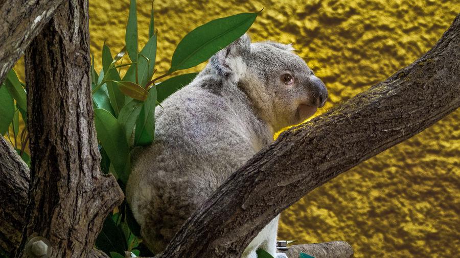 Side view of a koala bear looking away