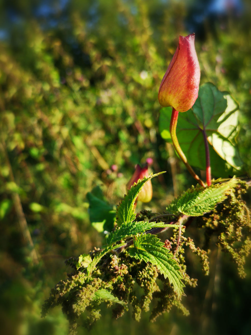 plant, growth, beauty in nature, close-up, leaf, plant part, flower, green color, nature, fragility, vulnerability, selective focus, day, no people, flowering plant, beginnings, freshness, new life, focus on foreground, red, outdoors, flower head
