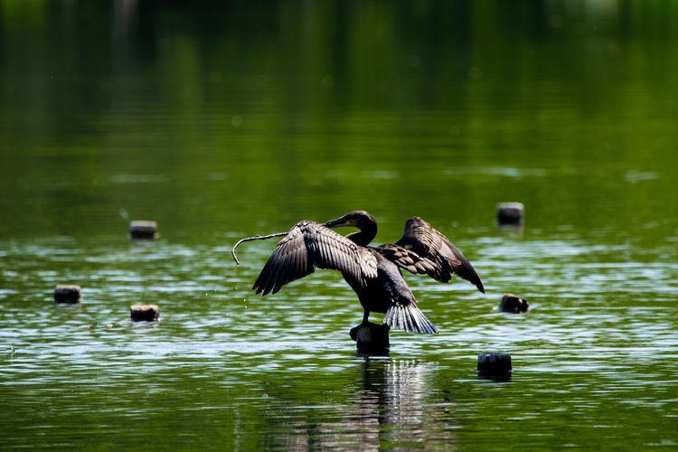 in a lake Bird Photography Wildbird Wildlife Wildbirds Animal Animal Themes Blackbird Bird Water Bird Of Prey Spread Wings Lake