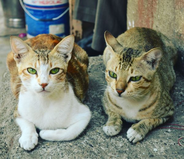 Animal Themes Pets Looking At Camera Domestic Cat Domestic Animals Mammal Portrait Feline No People Close-up Day Outdoors Animalphotography Beauty In Nature Animallovers Animalsofinstagram