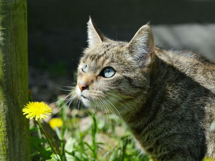 Close-Up Of Cat By Yellow Dandelion