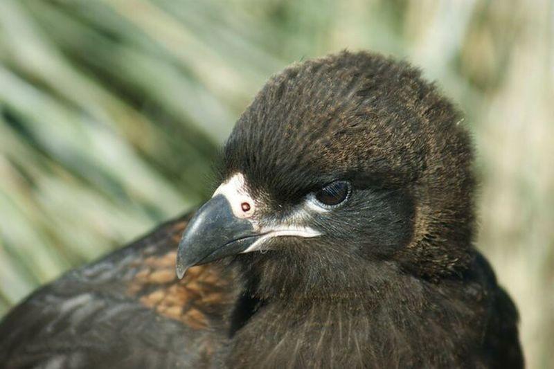 Bird Of Prey Johnny Rook