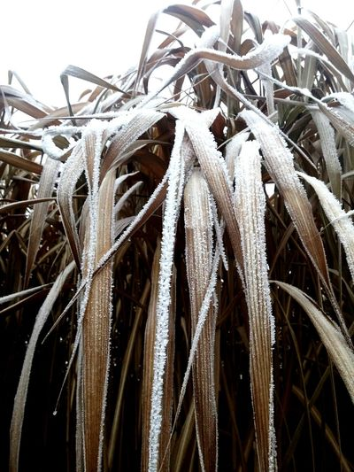 Corn leaves ice