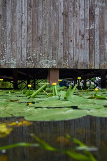water lilies at