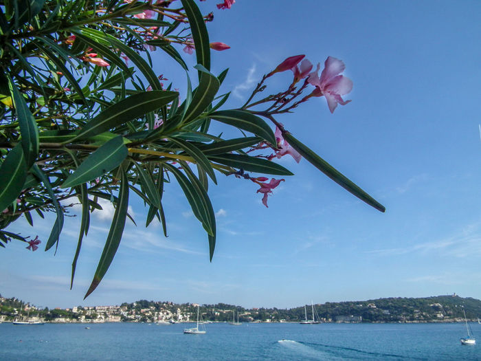 Beauty In Nature Costa Azzurra Côte D'Azur Day Estate France Francia Frankreich Frankreich ♥ Growth Nature No People Oleander Oleandro Outdoors Palm Tree Riviera Scenics Sea Sky Sommer Summer Tree Villefranche-sur-mer Water
