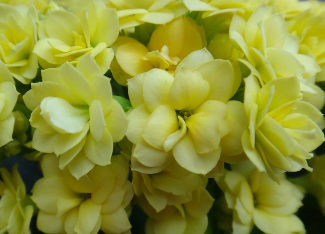 Backgrounds Beauty In Nature Bloom Blossom Christmas Kalanchoe Close-up Day Flaming Katy Floral Florist Kalanchoe Flower Flower Head Fragility Freshness Full Frame Growth Kalanchoe Madagascar Widow's-thrill Nature No People Outdoors Petal Plant Widow's-thrill Yellow