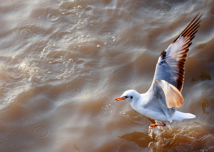 Seagull flying on sea at Bang Poo Thailand Bang Poo Fly SEAGULL IN FLIGHT Seagulls Thailand Animal Themes Animal Wildlife Animals In The Wild Bird Birds Day Flying Motion Nature No People One Animal Outdoors Sea Seagull Seagulls And Sea Seagulls In Flight Spread Wings Water Water Bird Waterfront