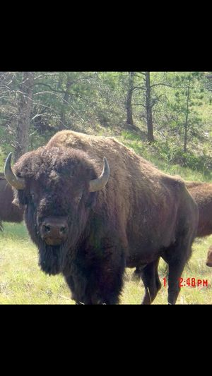 One Animal Mammal Animal Wildlife No People Animals In The Wild Animal Themes American Bison Nature Outdoors Day
